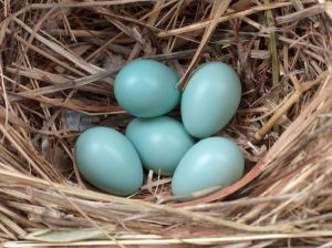 800px-Starling_eggs
