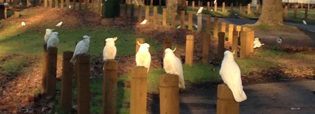 7 Aussie Cockatoos