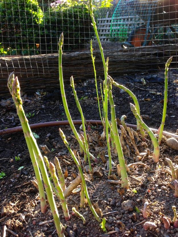 Asparagus bed