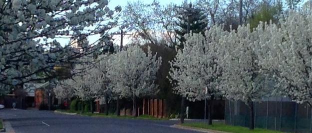 Vicotira street blossoms