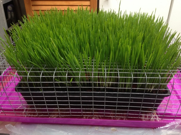 Wheat grass D 7