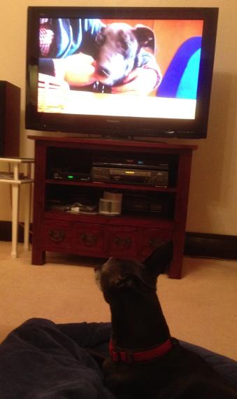 Ziggy watches greyhound