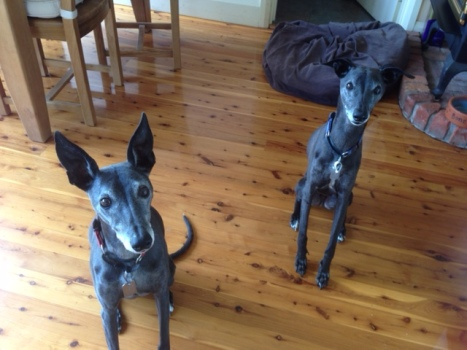 Perfect whippets