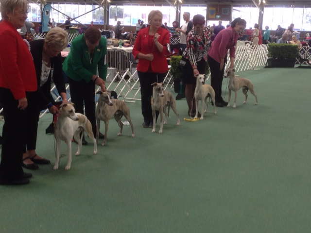 Whippets on Sat 1
